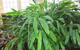 Амомум – Amomum: фото, условия выращивания, уход и размножение