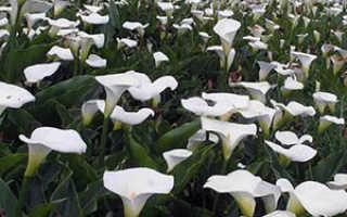 Каллы: посадка и уход в открытом грунте, выращивание в саду