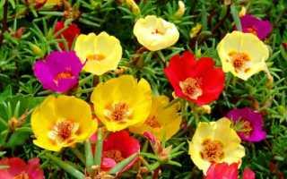 Портулак: посадка и уход в открытом грунте, выращивание из семян, когда сажать
