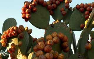 Кактус со съедобными плодами: описание видов, польза и вред