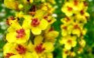 Растение коровяк или царский скипетр: выращивание из семян, лекарственные свойства