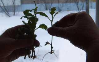 Хризантемы: уход осенью и подготовка к зиме, как вырастить из черенка в домашних условиях