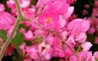 Антигонон – Antigonon: фото, условия выращивания, уход и размножение