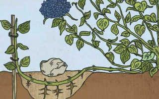 5 способов размножение гортензии: осенью и весной