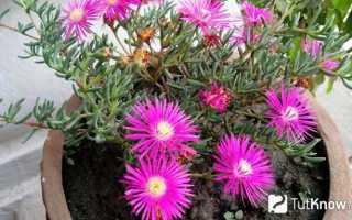 Лампрантус – Lampranthus: фото, условия выращивания, уход и размножение