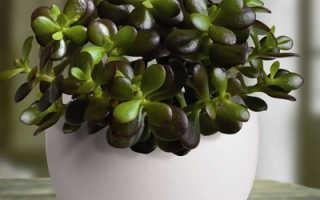 Денежное дерево или толстянка: как размножить и пересадить в домашних условиях