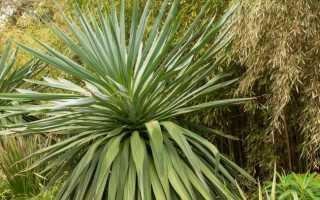 Фуркрея – Furcraea: фото, условия выращивания, уход и размножение