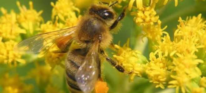 Аллергия при употреблении продуктов пчеловодства