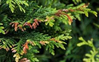Туя: подкормка осенью, правила и технология внесения удобрений