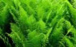Папортник страусник обыкновенный: описание, посадка и уход в открытом грунте