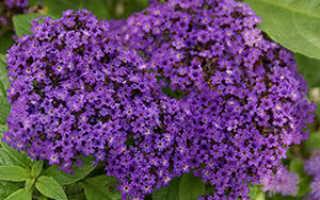 Гелиотроп: выращивание цветка из семян, посадка и уход, 8 видов