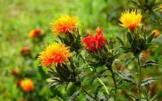 Цветок сафлор: фото, описание, посадка, выращивание из семян, уход