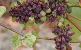 Осторожно, вирусный виноград