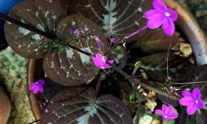 Псевдэрантемум – Pseuderanthemum: фото, условия выращивания, уход и размножение
