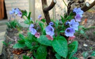 Медуница: это растение культурное или дикорастущее, где растет, описание