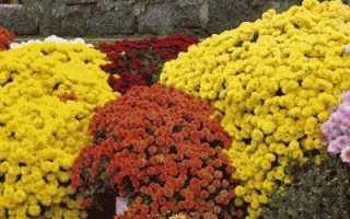 Цветы дубки: уход и размножение, выращивание, низкорослые и шаровидные
