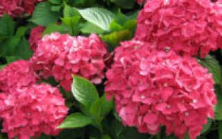 Садовая гортензия: посадка и уход в открытом грунте, обрезка