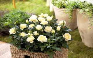 Миниатюрные, карликовые и бордюрные розы: посадка и уход, размножение