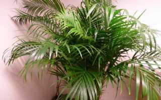 Как ухаживать за пальмами в домашних условиях в горшке?