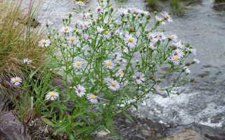 Цветы сентябринки или октябринки: посадка, уход и размножение