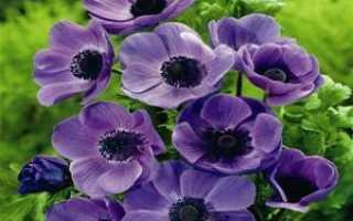 Ветреница или анемона: что это такое, где растёт, культурное или дикорастущее растений