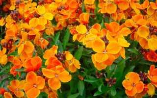 Лакфиоль: посадка цветка и уход за ним