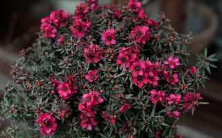 Лептоспермум – Leptospermum: фото, условия выращивания, уход и размножение