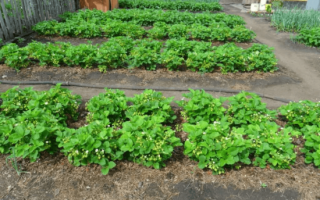 Когда сажать клубнику, сортовые особенности развития, цель выращивания, видео