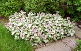 Цветок яснотка и описание его видов – белая, розовая, пурпурная, крапчатая и пятнистая яснотка