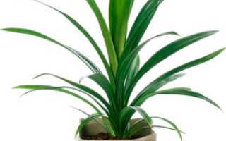 Панданус: уход за винтовой пальмой в домашних условиях, можно ли держать дома