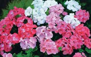 Герань или пеларгония: родина растения, откуда родом, научное название герани