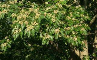 Конфетное дерево: описание и фото экзотического гостя