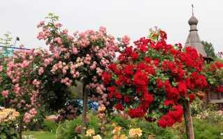 Штамбовые розы: посадка и уход, что это такое, как вырастить, описание