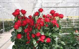 7 лучших сортов голландских роз: описаниеи характеристики, посадкаи уход