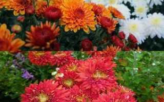 6 сортов корейской хризантемы: описание, посадка и уход, выращивание
