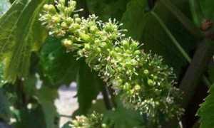 Виноград отцвел и завязал ягоды – что дальше?