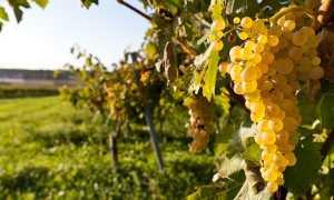 Можно ли высаживать рядом кусты винограда разных видов