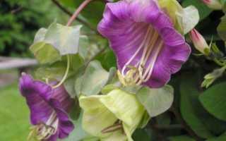 10 вьющихся растений: однолетние и многолетние, для беседки и сада
