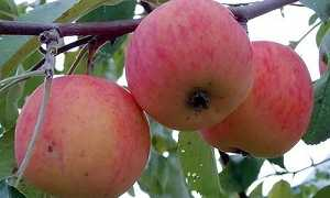 Яблоня подарок осени посадка и уход