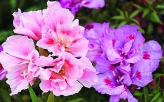 Цветок годеция: выращивание цветка из семян, когда сажать, посадка и уход