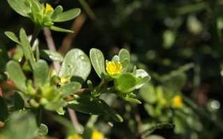 Огородный портулак: лечебные свойства и противопоказания, описание