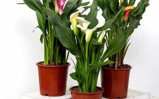 Цветок калла: как выглядит, родина растения, уход в домашних условиях