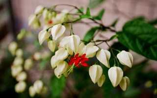 Клеродендрум томпсона: уход в домашних условиях, почему не цветет