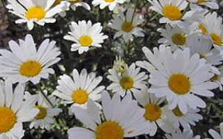 Многолетняя садовая ромашка: посадка и уход, выращивание из семян