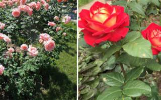 Чайно-гибридная роза: лучшие сорта, что это такое, описание
