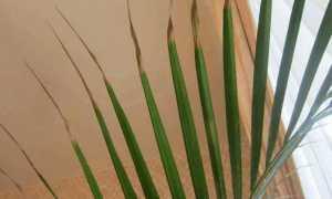 Почему сохнут листья у домашней пальмы и что делать?