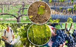 Схема ухода за виноградником