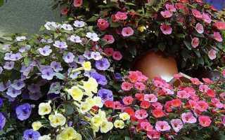 Цветы ахименес: уход и выращивание, размножение, болезни и вредители