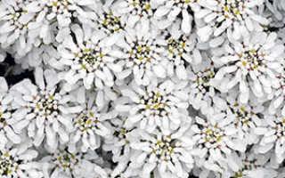 Иберис вечнозеленый или гибралтарский: посадка и уход, выращивание из семян