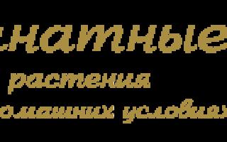 Кандык сибирский: описание и выращивание на садовом участке